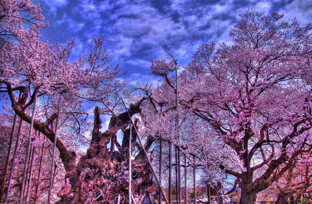 位于福岛县田村郡三春町,推测树龄已经超过1000年,品种为红枝垂樱.