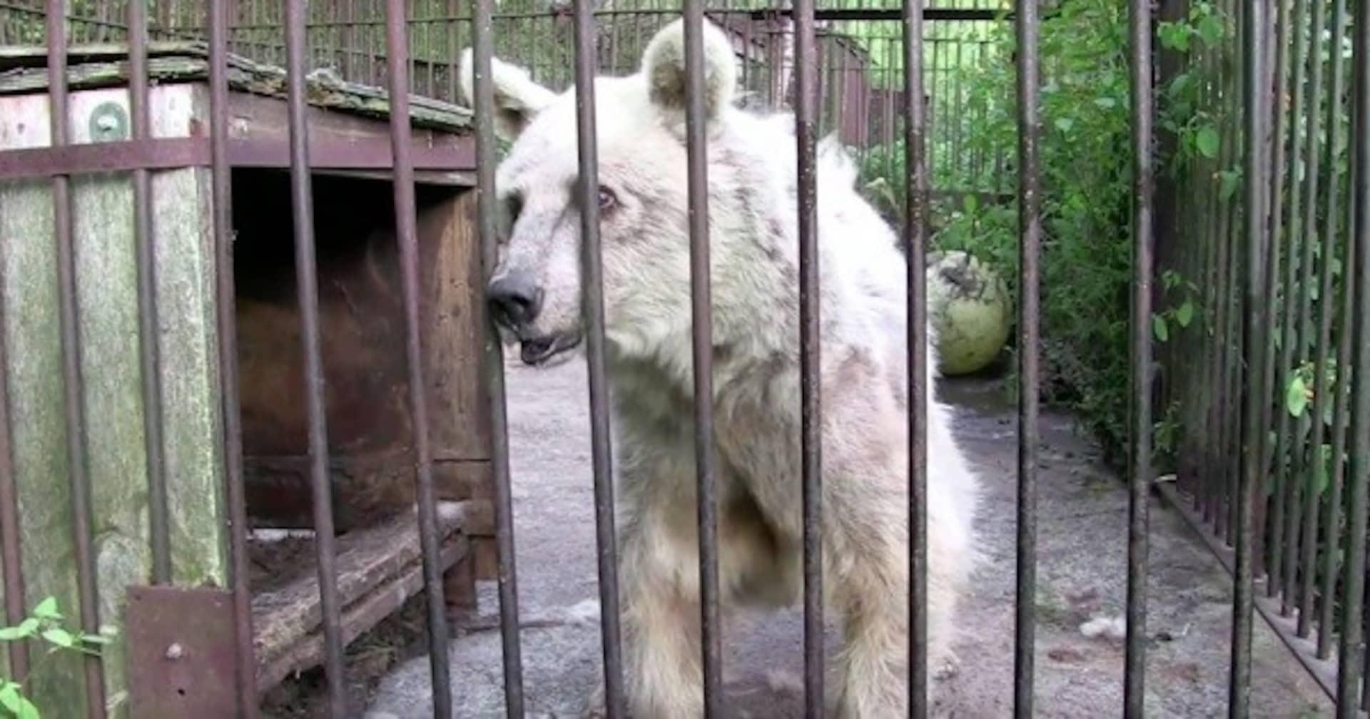 30年も虐待され続けたクマ、保護されて1年後に元気な姿を見せる