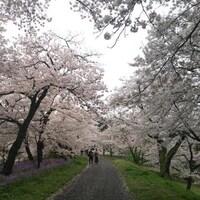 全国103ヶ所の桜の絶景を一挙紹介!