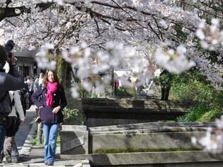 京都で春旅!祇園や寺社で桜を愛でる