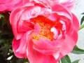 フラワーアレンジに役立つ!花の小事典vol.16 【5月の花】シャクヤク