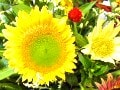 スペース別スタイリッシュアレンジVol.8 夏を満喫!太陽の花を楽しむ