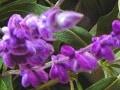 【11月の花】アメジストセージフラワーアレンジに役立つ!花の小事典vol.22
