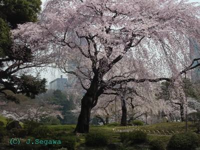 桜のピンク色をきれいに撮るには