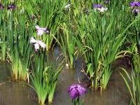 堀切菖蒲園へ菖蒲の花を見に行く
