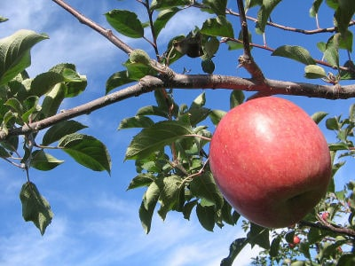 冬を楽しむ、アップルパイ&タルトタタン集