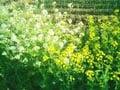 春の豆知識「これも菜の花?」と聞かれたら