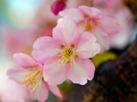 「桜・桃・梅」の違いがわかりますか?