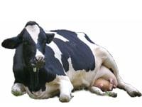 2009年の干支、丑と牛の豆知識