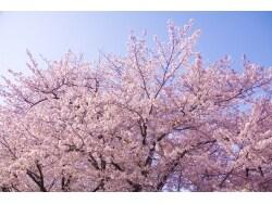 2016年桜の開花情報と桜前線