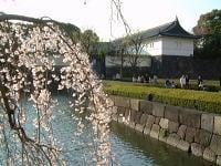 お濠端・大手門前のしだれ桜
