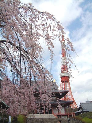 増上寺より東京タワーと桜を眺める