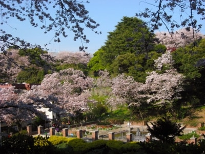 公園の周りを囲むように咲く、元町公園のサクラ