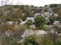 春は三溪園内が淡いピンク色に!undefined旧燈明寺三重塔よりのぞむ