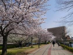 横浜のお花見スポット2016