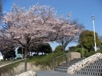 山下公園の山手側に数本のサクラの木があります