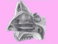"nasal_cavity"""