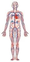 心臓と全身、赤で示す動脈血と、青で示す静脈血がきれいに循環して全身を養います