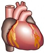 心臓の全体図。休まずに仕事できるのには理由があります。