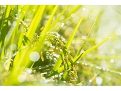 イネ科花粉症の症状と治療