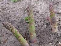 冬に植える野菜の育て方