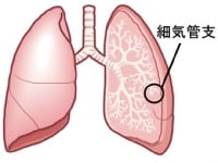 肺の外側に近い部分が細気管支です