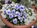 冬のガーデニングを楽しむ花