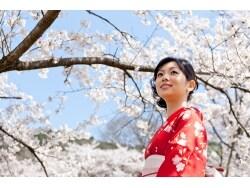 桜柄の着物は1年中着られるって本当?