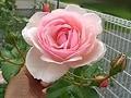 四季咲き性バラの整枝剪定