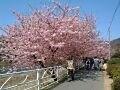 早春の桜を満喫しよう!河津桜の桜並木へ【静岡】