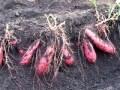 サツマイモの育て方・栽培方法