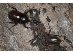カブトムシの捕まえ方のコツー時間帯と採集ポイントー