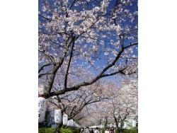 鶴岡八幡宮周辺のお花見おすすめ観光コース