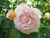 スウィート・ジュリエットはカップ咲きからロゼット咲きへと咲き進む