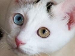 左右の目色が違う猫の秘密