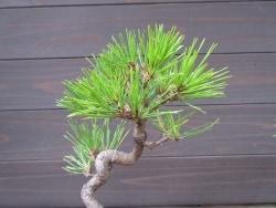 黒松、赤松盆栽のお手入れで大切な作業【秋編】
