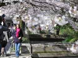 春の京都散策に!東山エリアでおすすめ桜の名所7選