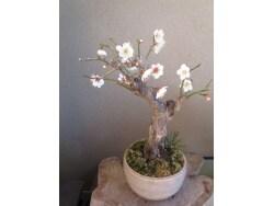 梅の盆栽の育て方、花が終わった後の剪定