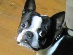 ペットの糖尿病、犬は1型糖尿病がほとんどです