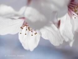 【風景撮影ナビ10】 桜をきれいに撮るときのヒント