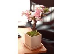 初心者におすすめ、「桜のミニ盆栽」の作り方