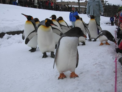 冬の「旭山動物園」雪の中での体験レポート