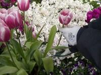 チューリップの花が終わったら?