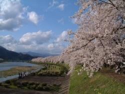 春の遅い角館で桜並木を楽しもう【秋田】