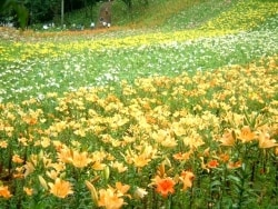 華やかな花園へ誘う、ところざわのゆり園/埼玉