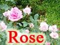 きれいなバラを咲かせたい!