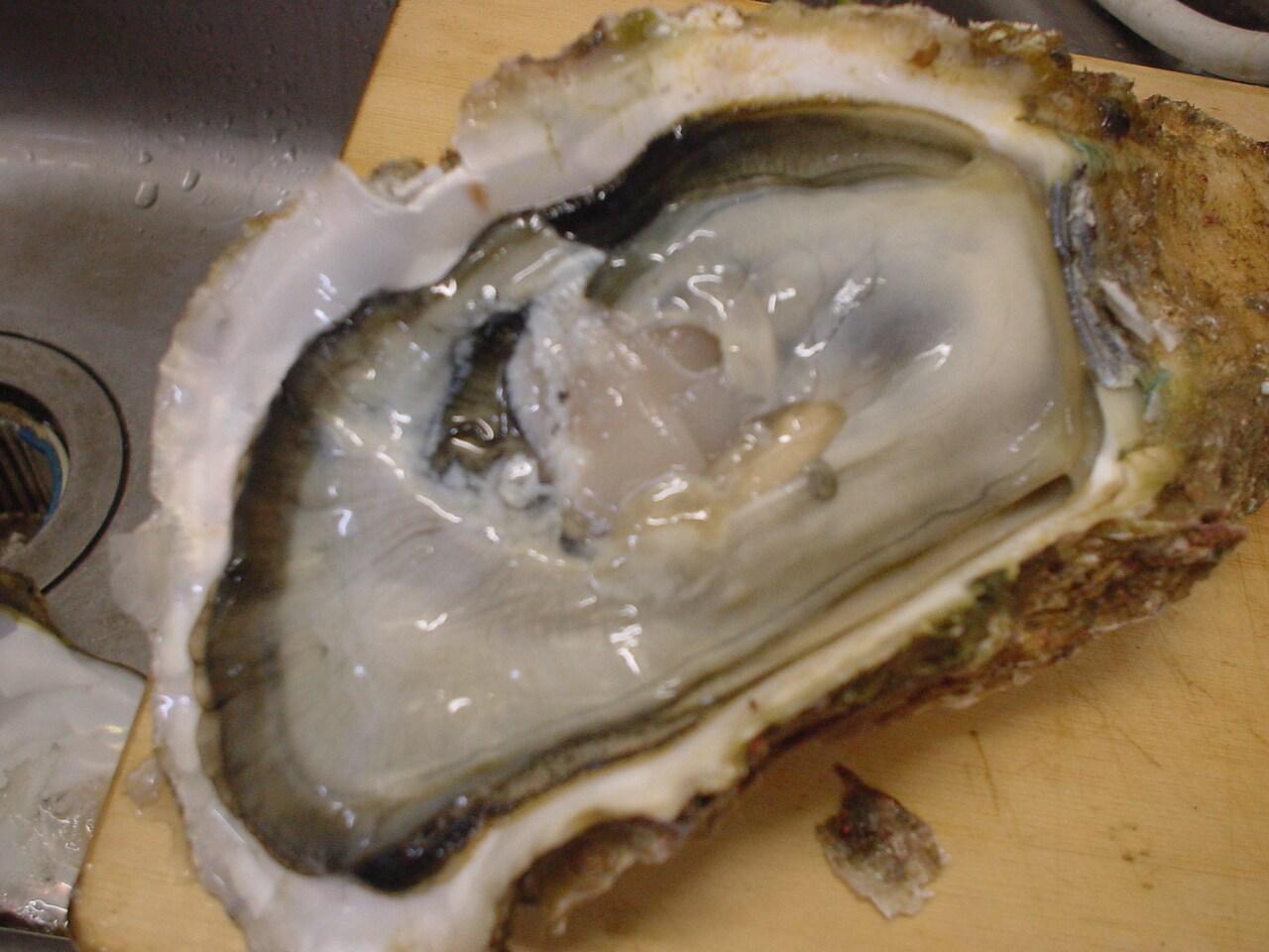 濃厚な味わいは象潟(きさかた)産に勝るとも劣らない 越前三国の巨大岩牡蠣を食す