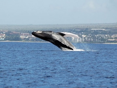 クジラの親子が迎えてくれる冬のマウイ島。西海岸からは、クジラの潮吹きを肉眼で見ることができる