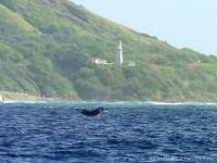 潜水する際に尾びれを持ち上げる「フルーク」(スター・オブ・ホノルル号)