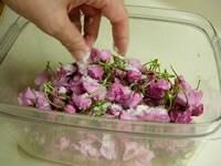 桜と塩で、一晩漬け込む